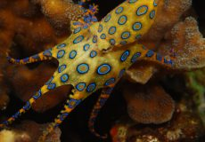 Blue-Ringed-Octopus-Images